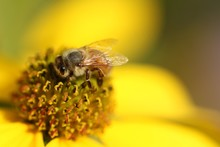 Closeup Of A Bee On A Yellow Flower