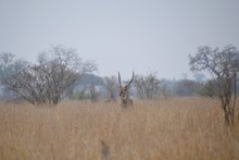 Male Waterbuck Antelope Standing In Long Grass In The Veld With Only His Head And Horns Visible