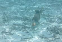 Triggerfish (Balistodes Viride...