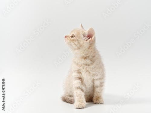 Photographie little beautiful funny british kitten on white background