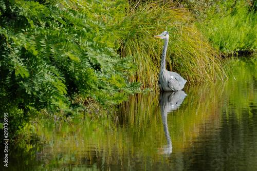 Fototapeten Natur Blue Heron - Blauwe Reiger