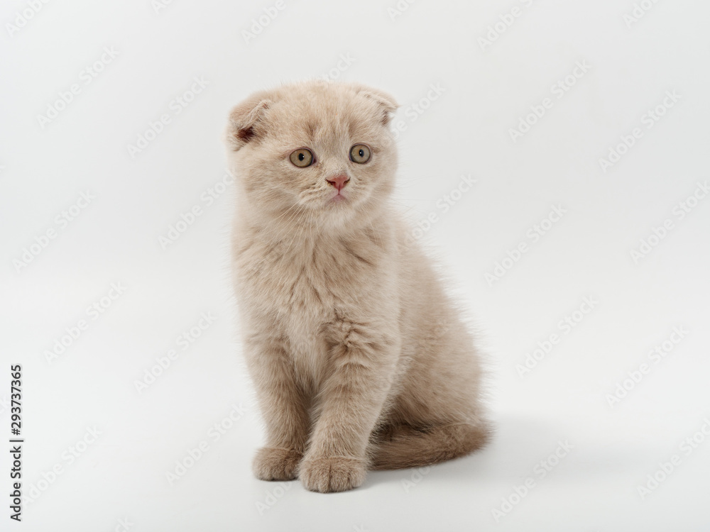 Fototapeta little beautiful funny british kitten on white background