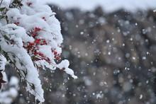 ナンテンと雪