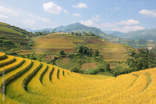 Poster Les champs de riz Green, brown, yellow and golden rice terrace fields in Mu Cang Chai, Northwest of Vietnam