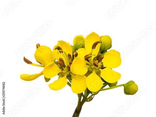 Fotografia  Close up Cassod tree or Senna siamea leaves.