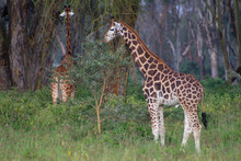 Giraffe Eating The Thorny Acasia Tree At Lake Nakuru