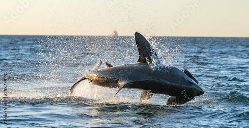 Photo Breaching Great White Shark