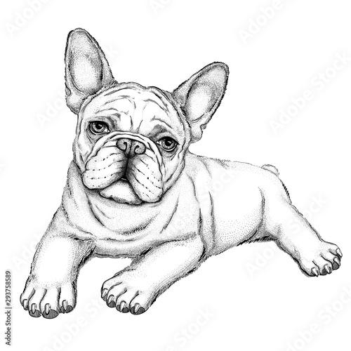 Obraz Bulldog sketch.  Vector illustration of french bulldog.  Drawn puppy.  - fototapety do salonu