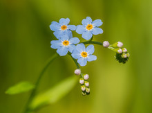 Forget-me-not Flower Detail