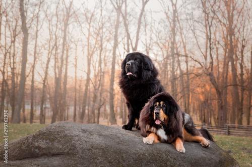 Fotografia Tibetan mastiff dog in the park