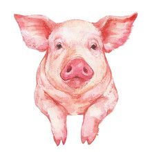 Cute Pink Pig Portrait Watercolor Illustration On White Background