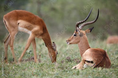 Photo Stands Antelope Impala 2