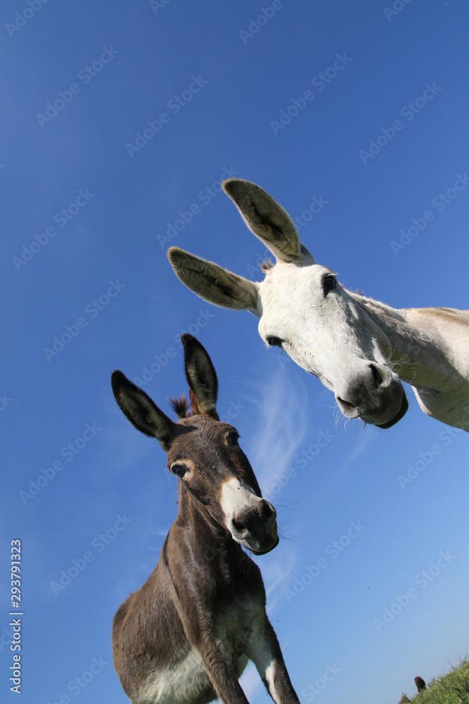 Fototapeta Portrait of two funny donkeys black and white