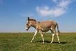 Leinwandbild Motiv Baby donkey on the pasture over blue sky
