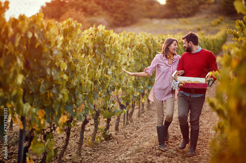 wine grapes in a vineyard. Couple winemakers walking in between rows of vines. - 293798331