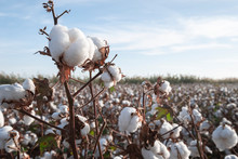 Branch Of Ripe Cotton On The C...