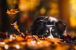 Leinwandbild Motiv Australian Shepherd im Herbst