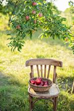 Apple Harvest. Ripe Red Apples...