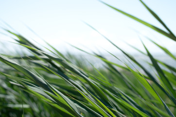 Blades of grass fluttering in the wind with a blurry seascape in the background.