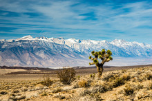 Joshua Tree Before Snow Capped Sierra Nevada Mountains