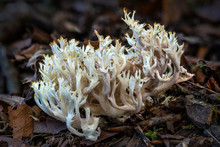 Coral Fungus Found In Autumn Fall Woodland Forests