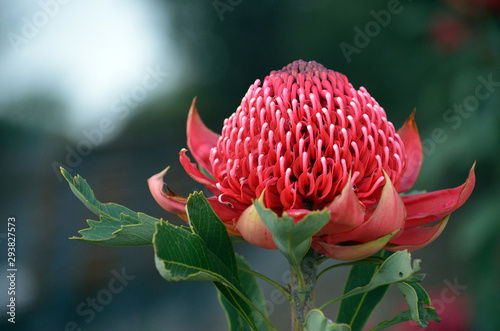 Red and magenta flower head of a native Australian protea, the Waratah, Telopea speciosissima, family Proteaceae Canvas Print