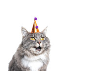 Funny Studio Portrait Of A Cute One Year Old Blue Tabby Maine Coon Cat Wearing A Birthday Hat Looking Ahead With Open Mouth In Front Of White Background