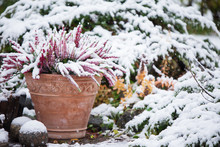 Common Heather, Calluna Vulgaris, In Flower Pot Covered With Snow, Evergreen Juniper In The Background, Snowy Garden In Winter
