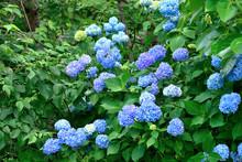 Hydrangea Macrophylla. It Is C...