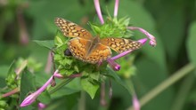 Variegated Fritillary Butterfly 4K
