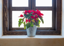 Christmas Poinsettia Flower On Wodden Antique Window Sill