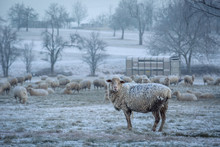 Sheep With Frost In It's Fur L...