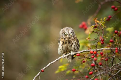 Fotobehang Uil Eurasian scops owl (Otus scops) - Small scops owl on a branch in autumnal forest