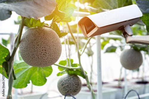 CCTV Camera Operating inside organic melon farm plantation. - 293852761