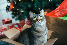 Tabby Cat In A Box Under The C...