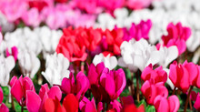 Beautiful Pink Red And White C...