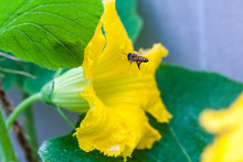 Honey Bee Flying To Find Honey And Pollen From Pumpkin Flower