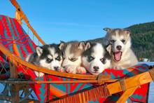 Four Adorable Siberian Husky P...