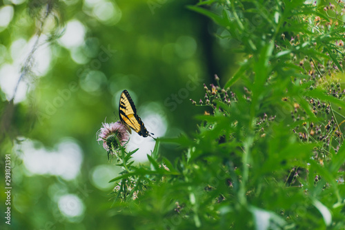 eastern tiger swallowtail butterfly (papilio glaucus) feeding on thistle flowers in the Fall