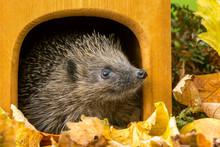 Hedgehog (Scientific Name: Erinaceus Europaeus), Native, Wild, European Hedgehog Leaving A Hedgehog House In Autumn.  Horizontal.  Space For Copy.