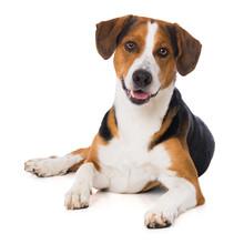 Mixed Breed Dog Lying On White Background