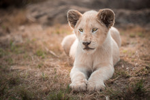 A White Lion Cub (leo Panthera...