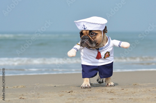 Photo Walking funny French Bulldog dressed up with a cute sailor dog Halloween costume