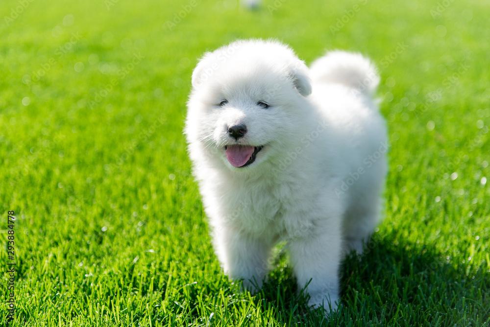 Fototapeta Samoyed puppy sitting on green grass