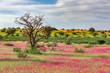 canvas print picture - Violet flowering Kalahari desert after rain season, South Africa wilderness