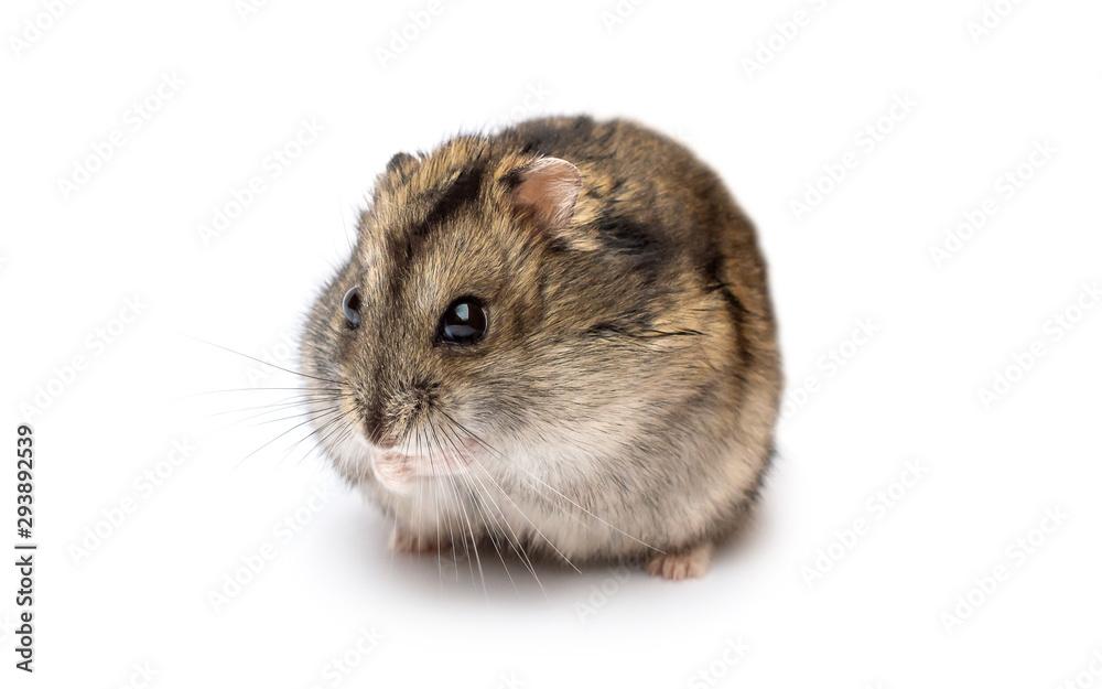 Fototapeta Small hamster on white background.