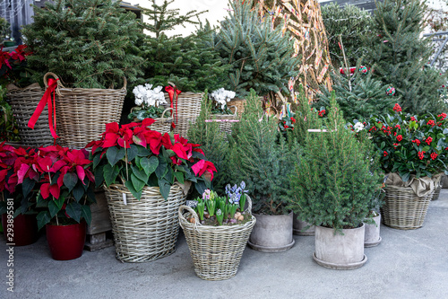 Variery of winter plant decoratinos for home garden such as picea in pots, different Christmas trees in baskets, ilex aquifolium or Christmas berry holly tree, red poinsettia Christmas flower potted.