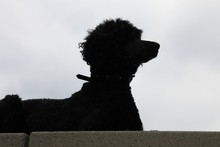 Silhouette Eines Schwarzen Hundes