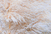 Pampean Grass Or Cortaderia. Natural Background From Cortaderia.