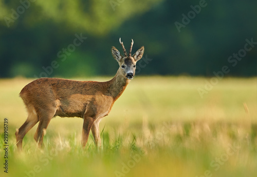 Photo sur Toile Cerf Roe deer (Capreolus capreolus) male